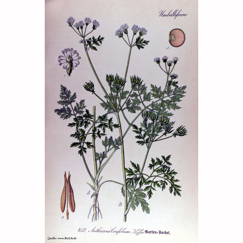Kerbel altes Gewürzkraut Heilpflanze Anthriscus cerefolium ökologischer Anbau
