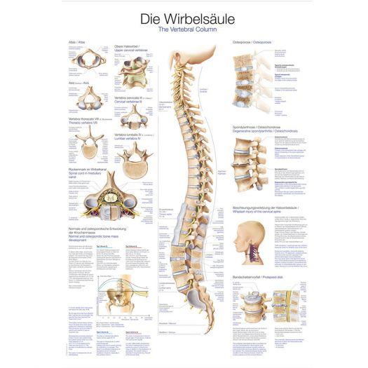"""Anatomische Lehrtafel """"Die Wirbelsäule""""Ausbildung Anatomie Medizin ..."""