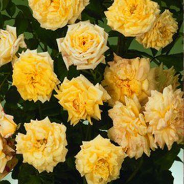 Gemeinsame 3 Stück Kletterrosen Apollo gelbe Blüten im Topf, stark duftende &KN_92