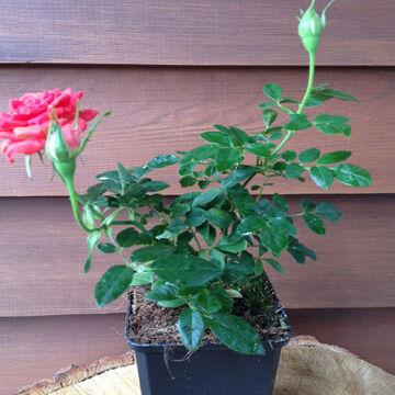 Rosa the Fairy orange oder Bodendeckerrose orange Bluten im Topf gewachsen