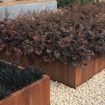 10 Stück Heuchera micrantha Palace Purple Purpurglöckchen Bodendecke