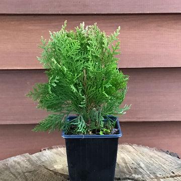 Gelbe Zwerg-Lebensbaum immergrün Gehölz Thuja Aurea nana 10-15 cm im Topf