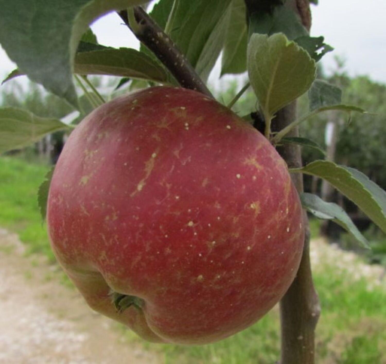 Punica granatum  Veredelt 100-120 cm  9,5L topf Granatapfelbaum
