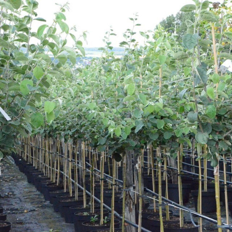 Quittenbaum Portugiesische Birnenquitte Halbstamm 170-200 cm 9,5 L Topf Quitte A