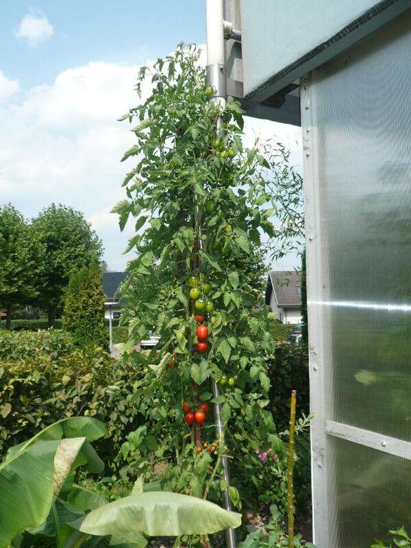 Massenertrag 4 Meter hoch 10 Samen Tomate 4m