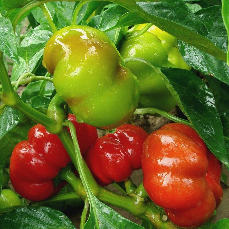 Mini Süßpaprika Mix 10 Samen Paprika