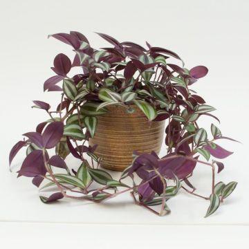 Zebrakraut tradescandia zebrina feng shui energiepflanze zimmerpflanze blumentop ebay - Rankenpflanze zimmer ...